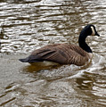 Canadian Goose by Eva Thomas