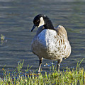Canadian Goose by Gary Langley