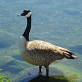 Canadian Goose by Kathy Roncarati
