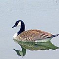 Canadian Goose by Kay Novy