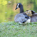 Canadian Goose Mother And Babies by Randy J Heath