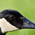 Canadian Goose Portrait by Jeramey Lende