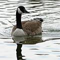 Canadian Goose by Rachel Roushey