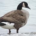 Canadian Goose by Randy J Heath