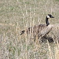 Canadian Goose  by Shutter Print