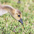 Canadian Gosling by Robert Frederick