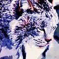 Canadian Lynx 1 by Alicia Zimmerman