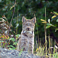 Canadian Lynx by Louise Magno