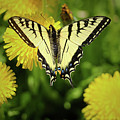 Canadian Swallowtail Butterfly by Amber D Meredith Photography
