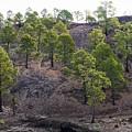 Canary Pines Nr 3 by Jouko Lehto