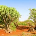 candelabra euphorbia tree Euphorbia candelabrum, Kenya by Marek Poplawski