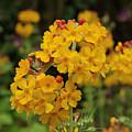 Candelabra Primula by Adrian Wale
