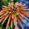 Candelobra Aloe In San Diego by Kenneth Roberts