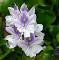 Candlelight Water Hyacinth Bloom by Camm Kirk