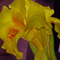 Canna Flower by Nilu Mishra