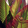 Canna Leaves 2   by Sarah Loft