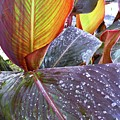 Canna Lily I  by Kirsten Giving