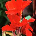Canna Lily 'lucifer' by Adrian Thomas