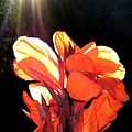 Canna Lily by Will Borden