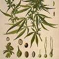 Cannabis Sativa  by Unknown