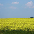 Canola Field Alberta Canada by Terry DeLuco