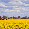 Canola Field by John Edwards