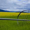 Canola by Idaho Scenic Images Linda Lantzy