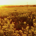 Canola Sunburst by Cassandra Buckley