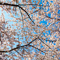 Canopy Of Cherry Blossoms by SR Green