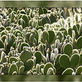 Canvas Of Cacti by Carol Groenen