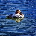 Canvasback And Blue by Rrrose Pix