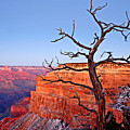 Canyon Tree by Peter Tellone