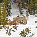 Canyon Wolf On Elk Kill by Dennis Hammer