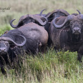 Cape Buffalo by Mike Fitzgerald