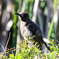 Cape Bulbul by Dave Whited