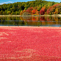 Cape Cod Cranberry Bog by Matt Suess