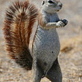 Cape Ground-squirrel  by Bruce J Robinson