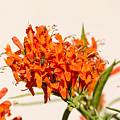 Cape Honeysuckle - The Autumn Bloomer by Debra Martz