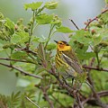 Cape May Warbler by Charles Owens