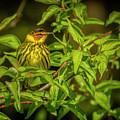 Cape May Warbler by LeeAnn McLaneGoetz McLaneGoetzStudioLLCcom