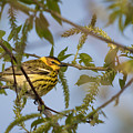 Cape May Warbler by Michael Shake