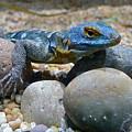 Cape Rock Lizard by Denise Mazzocco