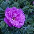 Cape Rose by Paul Galante