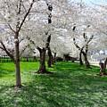 Capitol Gardens Cherry Trees by Doug Swanson
