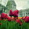 Capitol Tulips by Rockland Filmworks
