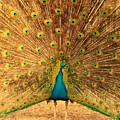 Captain Peacock by Studio Yuki