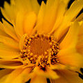 Captivating Coreopsis by Venetta Archer