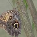 Captivating Photo Of A Brown Morpho Butterfly by DejaVu Designs