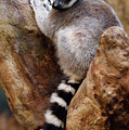 Captive Ring Tailed Lemur Perched In A Stone Tree by Reimar Gaertner