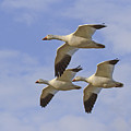 Captured Flight Of  Snow Geese by Allan Levin